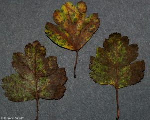 infected leaves showing typical spots and mottling of entomosporium