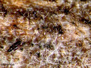 Spores on leaf lesion