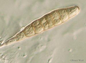Conidium under microscope close