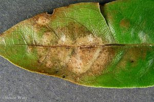 Lesions and fungal fruiting bodies on leaf