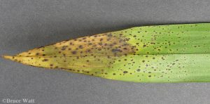 Patching and spore pustules