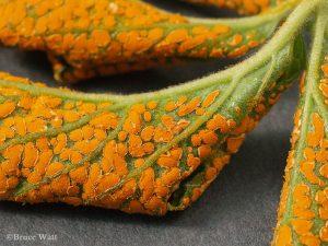 Aecia on leaf