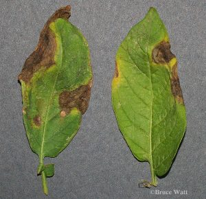 Potato leaves affected with Alternaria