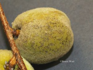 spotted fruit, early in disease cycle