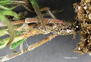 diseased stems
