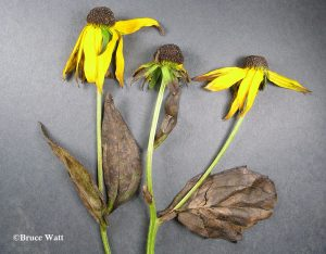 affected Rudbeckia plant
