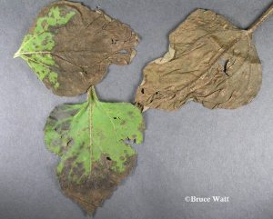 range of affected leaves