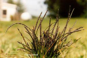 Slime mold on grass
