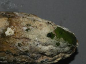 Lesions on affected fruit