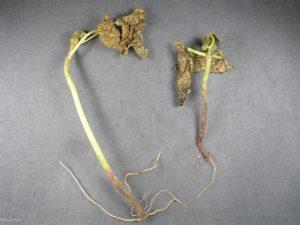 Affected plants