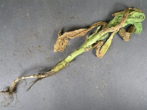 Affected plant