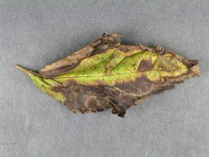 Affected leaf