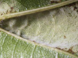 Asci on leaf underside