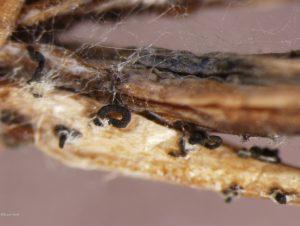 Spore tendrils
