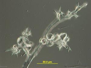 Sporangiophores and sporangia