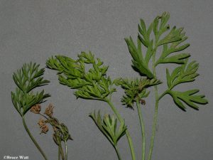 Affected foliage