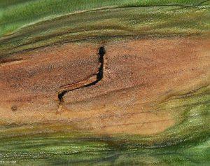 Close up of affected corn husk