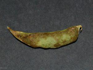 Affected pea pod