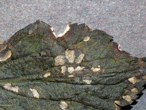 Close up of affected leaf
