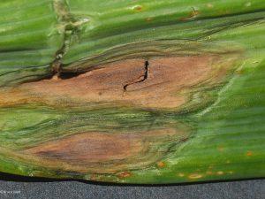 Affected corn husk