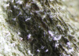 Sporangiophores on leaf