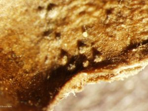 Pycnidia in leaf tissue