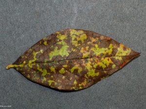 Affected leaf top side