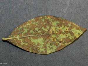Affected leaf underside