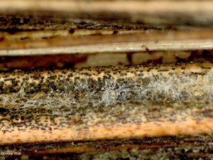 Sclerotia evident in tissues