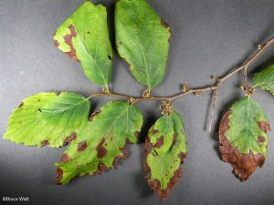 Infected foliage