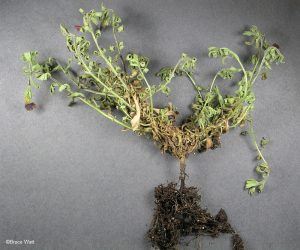 Wilted plant with infected roots and stem