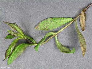 Symptomatic infected foliage