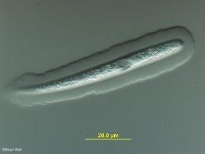 Mature ascospore with gelatinous sheath