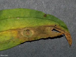 Symptoms - Leaf spots. Section cut out for microscopic examination