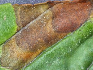 Leaf spot with pycnidia evident