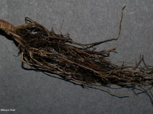 Rotted roots
