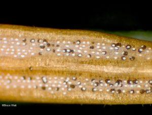 Pycnidia bursting from stomata