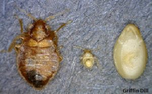 Bed Bug: Adult, Nymph, and Sesame Seed