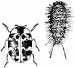 Illustration of Varied Carpet Beetle and Larva