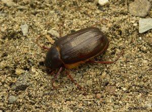 Adult May Beetle/June Bug