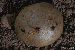 Wireworm Feeding on Potato