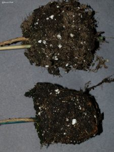 Infected root system