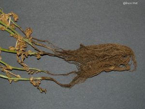 Infected roots and stem