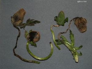 Infected plant tissues
