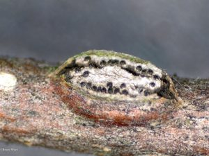 Ascal stroma