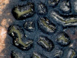 Sample 2: Apothecia in tar spot with hymenia evident