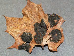 Sample 2: Apothecia in tar spots