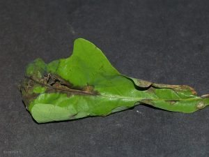 Infected leaf