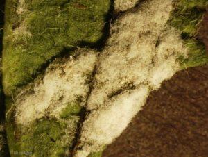 Sporulation on leaf surface
