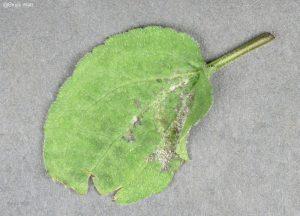 Symptomatic infected leaf